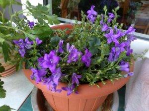 La piantina che resiste. Dal terrazzo di Alba L'Astorina, i fiori che le ha regalato Paola Ciccioli per il suo compleanno